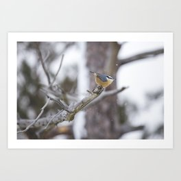 Nuthatch on a Branch Art Print