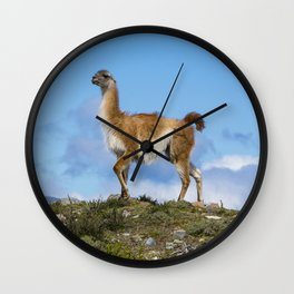 A Guanaco, in Patagonia, Chile. Wall Clock
