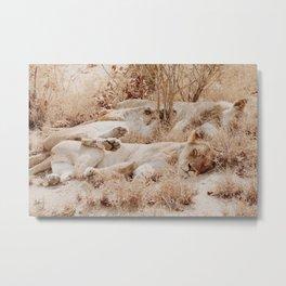 Lioness cuddle pile Metal Print
