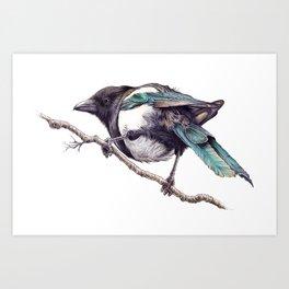 Juvenile Magpie 02 Art Print