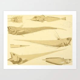 Fish of the Siboga Expedition (1913) - Sea Robins, Morid Cods, Rattails Art Print