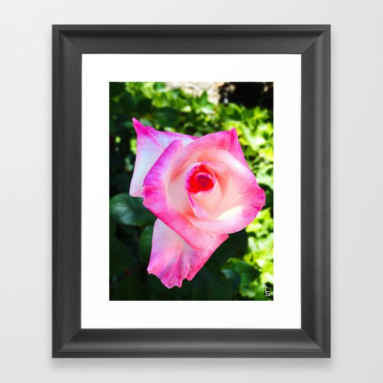 Pink & White, What a Double Delight! Framed Art Print