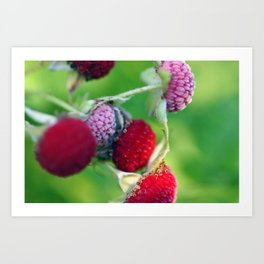 Thimbleberries. Art Print
