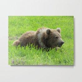 Alaskan Bear Eating Grass Metal Print