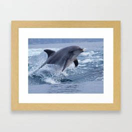 Bottenose dolphin Framed Art Print