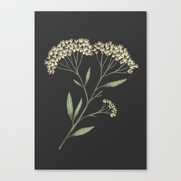 Yarrow / Milfoil illustration on dark background Canvas Print