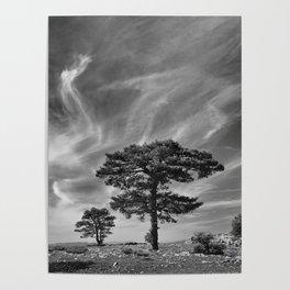 Black Pine At 2000 Meters. Cazorla Natural Park. Poster
