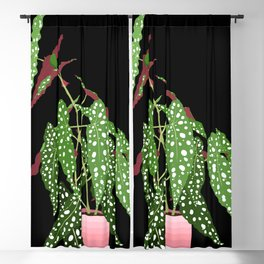 Polka Dot Begonia Potted Plant in Black Blackout Curtain