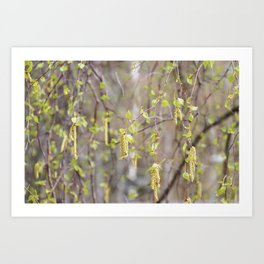 Blossoming birch tree in spring Art Print