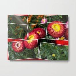 Helicrysum flower Metal Print