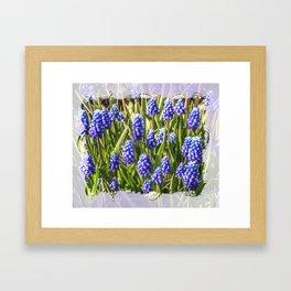 Grape hyacinths muscari Framed Art Print