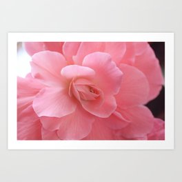 Pink Garden Rose from Butchart Gardens Art Print