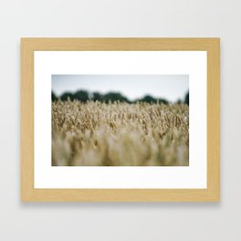 Grainfield, Shallow depth of field - Marrum - Friesland, The Netherlands Framed Art Print
