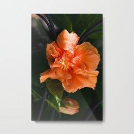 Apricot Hibiscus Metal Print