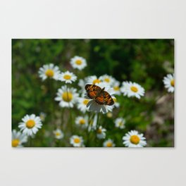 butterfly in the daisies Canvas Print