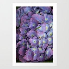 Blue Hydrangea Art Print