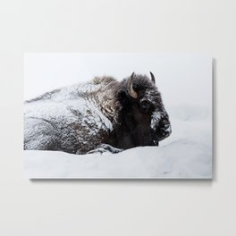 One cold bison Metal Print