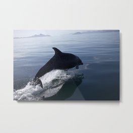Dolphin flyin in the Californian sea Metal Print