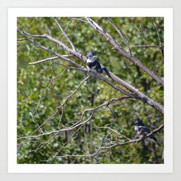 Two 4 One - Belted Kingfisher Art Print