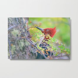 Woodpecker at Forest Pecking Tree, Patagonia, Argentina Metal Print