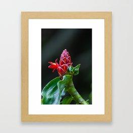 red ginger plant Framed Art Print