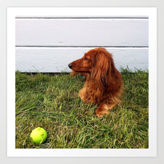 Long-haired Dachshund Art Print