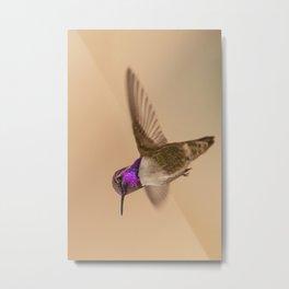 Costa's Hummingbird (Calypte costae) Metal Print