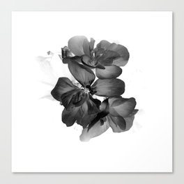 Black Geranium in White Canvas Print