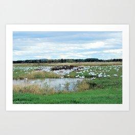 1001 Snow Geese Art Print