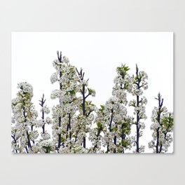 Bradford Pear Blossoms  Canvas Print