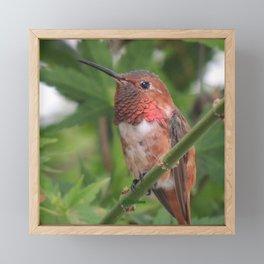 Hummingbird in the Japanese Maple Framed Mini Art Print