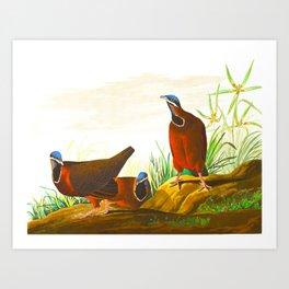 Blue-headed Pigeon Art Print