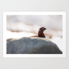 Red grouse hiding behind a rock Art Print