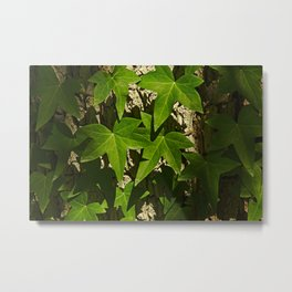 Sunny ivy leafs on a tree bark Metal Print