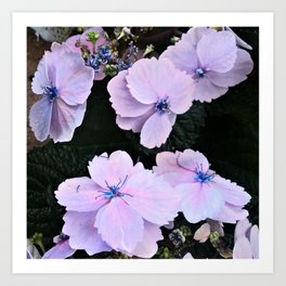 hydrangea in pastell rose and blue Art Print