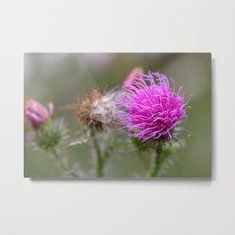 Thistle flower Metal Print
