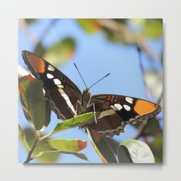 California Sister Butterfly on Oak Leaves Metal Print