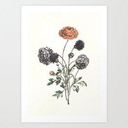 Watercolour of Ranunculus Art Print