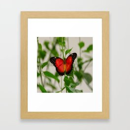 Red Lacewing Butterfly Framed Art Print