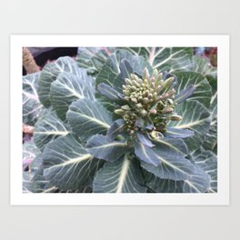 A break in the rain, collard greens blooming Art Print