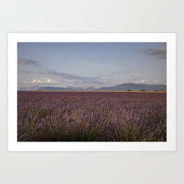 Lavender Flowers In Provence South Of France Art Print