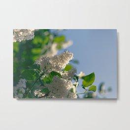 White Syringa vulgaris lilac Metal Print