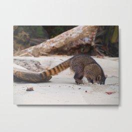Funny wild racoon feeding in Costa Rica Metal Print