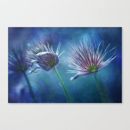 spring pasque flower Canvas Print