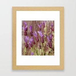 French Lavender (Lavandula stoechas) Framed Art Print