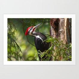 Pileated Woodpecker 6340 Art Print