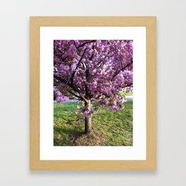 Cherry Blossum Framed Art Print