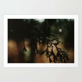 Water Drops from Winter Fir Branch Art Print
