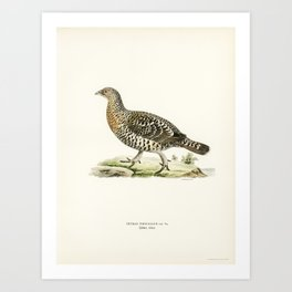 Western Capercaillie (Tetrao Urogallus )illustrated by the von Wright brothers. Art Print