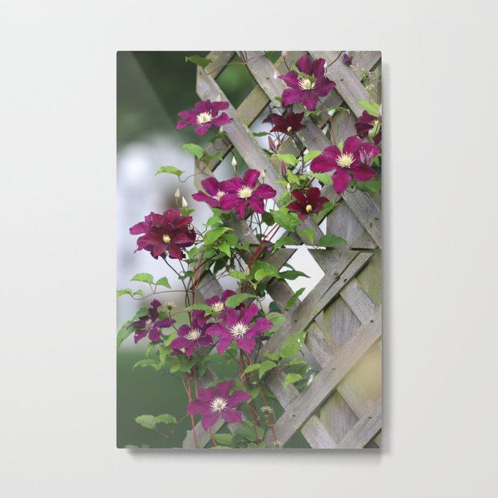 Lilac Clematis Climbing Trellis Metal Print